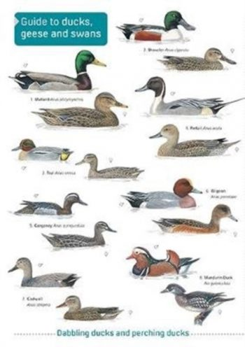 Ducks, Geese and Swans
